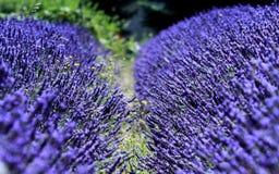 Lavendel Royalty-vrije Stock Foto