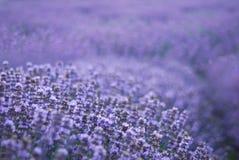 Lavendel Lizenzfreie Stockbilder