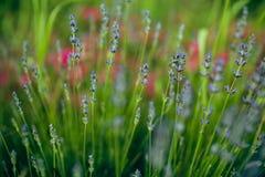 Lavendel stock afbeelding