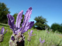 Lavendel (3) Royaltyfri Fotografi