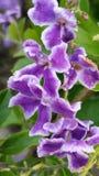 Lavendel Royaltyfria Foton