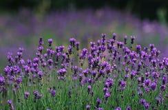 Lavendel royalty-vrije illustratie