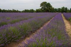 Lavendel 10 Royalty-vrije Stock Foto