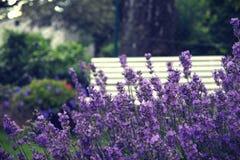 Lavendel Fotografia de Stock