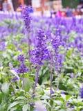 Lavendel Royalty-vrije Stock Afbeelding