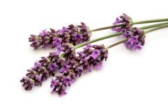 Lavendel Stockfotos
