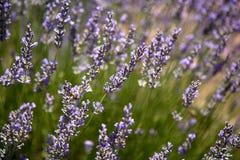 Lavendel Royaltyfria Bilder