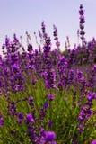 Lavendel-Anlage Lizenzfreie Stockbilder