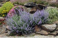 Lavendel auf dem Felsengarten Stockfotos