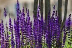 Lavendel auf dem Gebiet Stockfotos