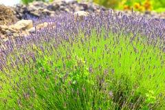 Lavendel auf Insel Hvar in Kroatien Stockfoto