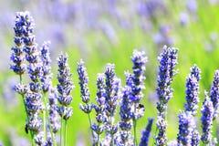Lavendel auf Insel Hvar, Kroatien Stockbild