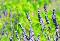 Lavendel auf Insel Hvar, Kroatien Lizenzfreies Stockfoto