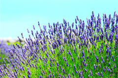 Lavendel auf Insel Hvar, Kroatien Lizenzfreie Stockfotos