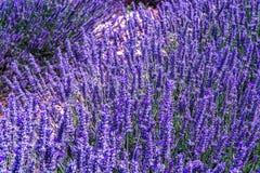 Lavendel av Provence, sommarf?lt med att blomstra purpurf?rgade lavendelv?xter i Van de Sault, Vaucluse, Frankrike arkivbilder