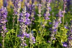 Lavendel in avond royalty-vrije stock fotografie