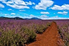 Lavendel-Bauernhof Stockbild