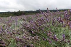 Lavendel-Bauernhof Lizenzfreies Stockfoto