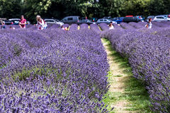 Lavendel-Bauernhof stockfotos