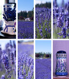 Lavendel-Bauernhof-Collage Stockfoto