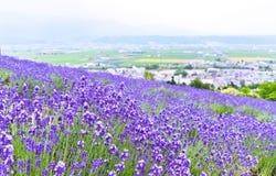 Lavendel-Bauernhof im Sommer Stockfotos
