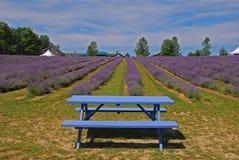 Lavendel-Bauernhof mit Reihen von blühenden Blumen und von blauen Bank stockbild