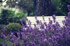 Lavendel Stock Photography