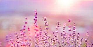 Lavendel bepflanzt Nahaufnahme auf Sonnenuntergang mit Büschen Lizenzfreies Stockbild