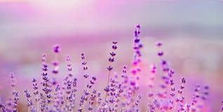 Lavendel bepflanzt Nahaufnahme auf Sonnenuntergang mit Büschen Lizenzfreie Stockbilder
