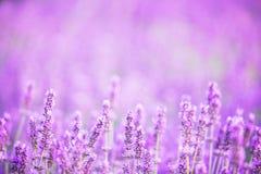 Lavendel bepflanzt Nahaufnahme auf Sonnenuntergang mit Büschen Stockfotografie