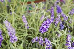 Lavendel bepflanzt Nahaufnahme mit Büschen Stockfotografie