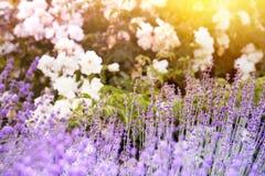 Lavendel bepflanzt Nahaufnahme mit Büschen Lizenzfreie Stockfotos