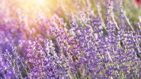 Lavendel bepflanzt Nahaufnahme mit Büschen Lizenzfreie Stockfotografie