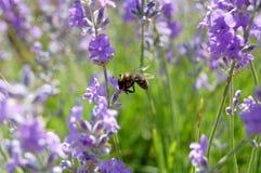Lavendel & Bij Stock Foto