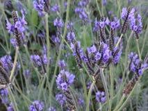 Lavendel bij tuin Bloem Stock Fotografie