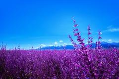 Lavendel bij voet van Tianshan-berg China wordt geplant dat stock afbeelding