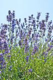 Lavendel blüht blühendes gerochenes Feld am Sommer stockfotos
