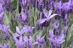 Lavendel blüht Frühlingssommer lizenzfreies stockbild