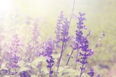 Lavendel blüht natürlichen Hintergrund Lizenzfreie Stockfotografie