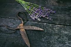 Lavendel blüht, Rosmarin, Minze, Thymian, Melisse mit alten Scheren auf einem schwarzen Holztisch Gebranntes Holz Badekurort und  Stockfoto