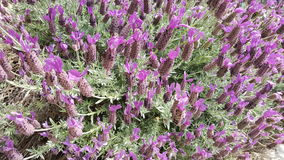 Lavendel in Bloei Stock Afbeelding