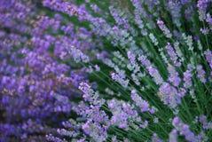 Lavendel - bloesem Royalty-vrije Stock Fotografie