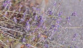 Lavendel Blomma purpurf?rgade lavendelblommor och torrt gr?s i ?ngarna eller f?lten Konstfotografi royaltyfri foto