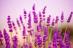 Lavendel blommar att blomma i fält Arkivfoto