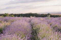 Lavendel blommar att blomma Purpurfärgat fält av blommor Mjuka lavendelblommor royaltyfri foto