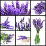 Lavendel blommar collage Arkivbilder