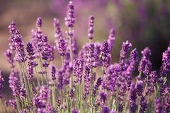 Lavendel blommar i fältet Arkivbild