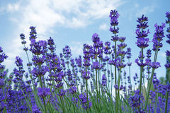Lavendel blommar i sommar royaltyfri fotografi