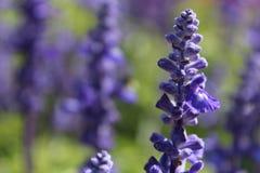 Lavendel blommar massa Royaltyfria Bilder