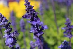 Lavendel blommar massa Fotografering för Bildbyråer